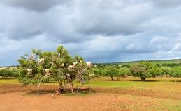 山羊在圆筒芯的灯树-摩洛哥吃草 免版税图库摄影