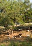 山羊在夏天临近一个结构树 库存照片