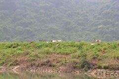 山羊在小山吃草在越南 免版税图库摄影