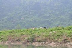 山羊在小山吃草在越南 免版税库存图片