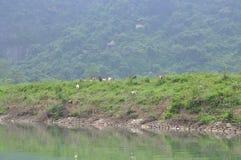山羊在小山吃草在越南 免版税库存照片