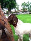 山羊在庭院里 库存照片