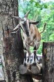 山羊在开放动物园里 库存图片