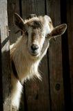 山羊在棚子 免版税图库摄影