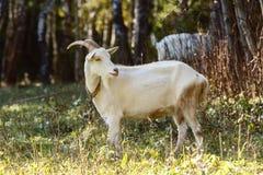 山羊在森林里束缚了吃草 免版税图库摄影