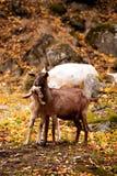 山羊在森林里 库存照片
