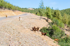 山羊在森林里 免版税库存图片