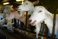 山羊在槽枥 免版税库存照片