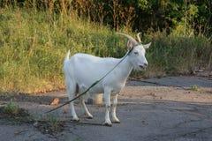 山羊在步行的一个夏日 免版税库存图片