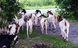 山羊在油棕榈树种植园 库存图片