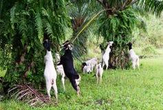 山羊在油棕榈树种植园 免版税库存图片