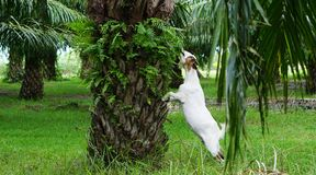 山羊在油棕榈树种植园 免版税库存照片