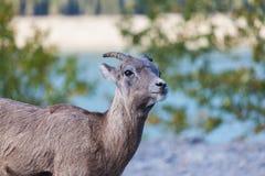 山羊在班夫,亚伯大 图库摄影