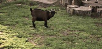 山羊在秋天季节期间的公园 好和滑稽的宠物 免版税库存照片