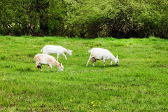 山羊在草甸吃草 库存图片