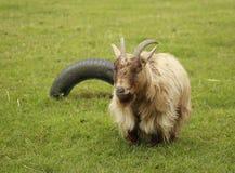 山羊在草甸 免版税图库摄影