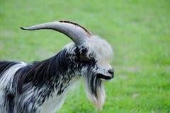 山羊在草甸 免版税库存图片