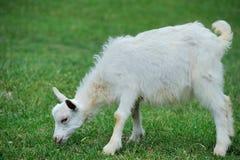 山羊在草甸 库存照片