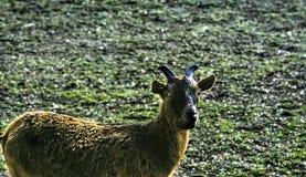 山羊在蒙扎公园 免版税库存图片