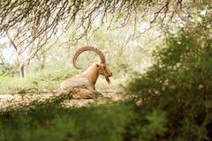 山羊在通配日 免版税库存图片