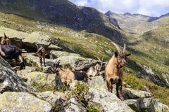山羊在阿尔卑斯在南蒂罗尔,意大利 库存照片
