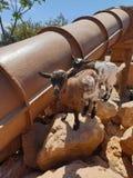 山羊在雅典 免版税库存照片