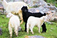 山羊在高地牧场地 库存图片