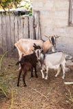 山羊在仓前空地我 库存照片