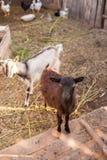 山羊在仓前空地 库存图片