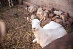山羊在仓前空地 免版税库存照片