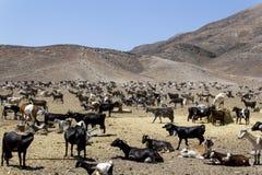 山羊在费埃特文图拉岛 库存照片