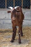 山羊在仓库广场 免版税库存照片
