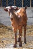 山羊在仓库广场 免版税库存图片