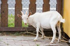 山羊在仔细考虑分支的小牧场 库存照片