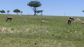 山羊在绿草,南非吃草 免版税库存图片