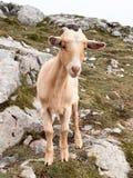 山羊在El缆绳, Fuente Dé区域  库存照片
