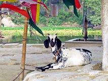 山羊在Kushtia,孟加拉国 图库摄影