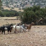 山羊在Tolemaide 免版税库存照片