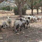 山羊在Tolemaide 库存照片