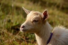 山羊外形 免版税库存图片