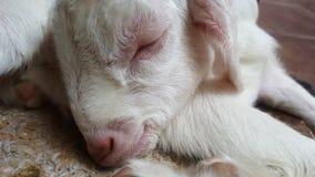 山羊婴孩 库存图片