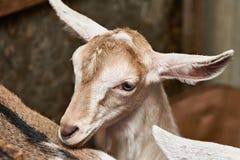 山羊孩子在农场的畜栏 免版税库存图片