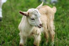 山羊孩子年轻人 免版税库存图片