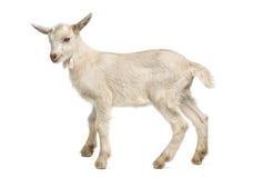山羊孩子(8个星期年纪) 库存图片