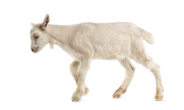 山羊孩子(8个星期年纪) 图库摄影