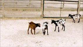 年轻山羊实践武术在动物园里 股票录像