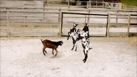 年轻山羊实践武术在动物园里 影视素材