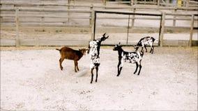 年轻山羊实践武术在动物园里 股票视频