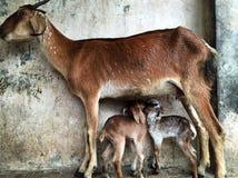 山羊家庭  图库摄影