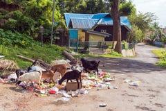 山羊寻找在垃圾的食物 库存图片